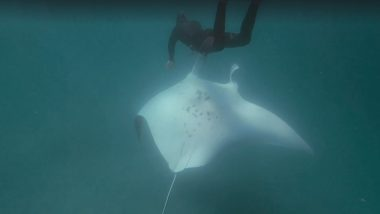 Giant Manta Ray Begs Diver at Ningaloo Reef to Save Her Eye From Fish Hooks, Watch Video