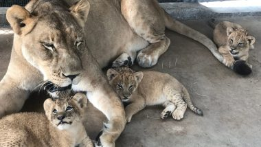 Lion Cub Naming Contest is Being Hosted by Naples Zoo in Florida And Lucky Winner Will Get a Prize