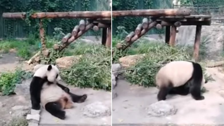 Tourists Wake Up Sleeping Panda at Chinese Zoo by Throwing Stones, Shocking Video Angers Netizens