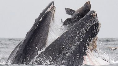 Humpback Whale Appears to Eat a Sea Lion in This Rare Photograph, But Here's The Truth
