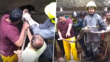 Mumbai Rains Bring Along 9-Feet Long Python in Thane! Snake Rescued From Sewer Amid Heavy Downpour (Watch Viral Video)