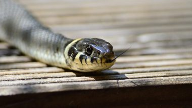 Venomous Snake Bites an On-Duty Police Constable in Uttar Pradesh, Admitted to Hospital