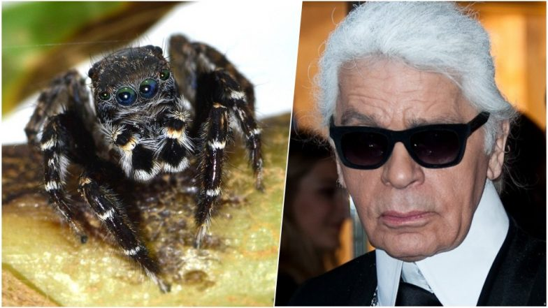 Incy Fancy Spider! Newly-Discovered Arachnid Named Karl Lagerfeld Due to Its Uncanny Resemblance with the Late Fashion Designer