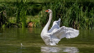Swan Kills Pet Dog in Dublin Park! Bird Attacked Cocker Spaniel to Protect its Babies