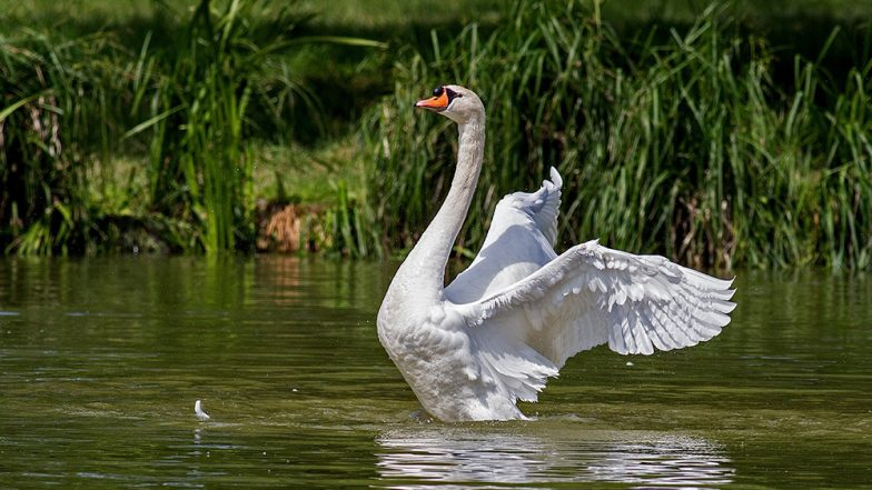 Dog killed in swan attack at park in Ireland