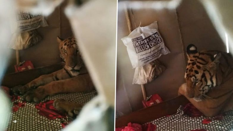 Assam Floods: Tiger Breaks Into House, Relaxes on Bed After Escaping the Floodwaters That Destroyed Kaziranga National Park