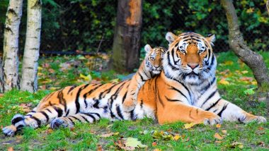 International Tiger Day 2019: Know 7 Facts About the Ferocious Big Cats On the Day Aimed at Their Conservation