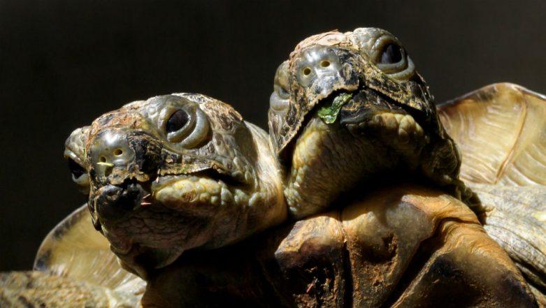 Malaysia: Two-Headed Turtle Found in Mabul Island