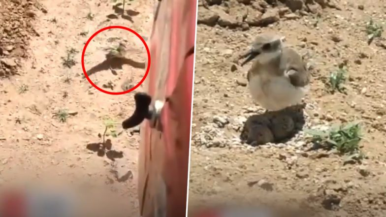 Watch Viral Video of This Brave Mother Bird Stopping Moving Tractor to Protect Her Eggs