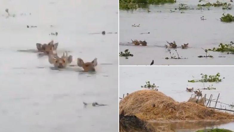 Assam Floods: Viral Video of Deer Wading Through Deep Neck Waters at Kaziranga National Park Distresses Netizens