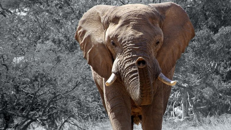 Horrifying Picture of African Elephant's Severed Trunk and Tusk From Botswana Shows The Grim Reality of Poaching