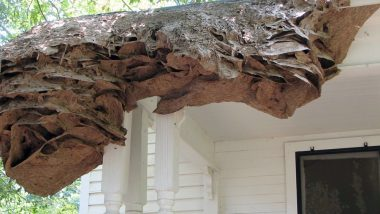 Wasps Are Weaving 'Super Nests' as Big as Volkswagen Beetle in Alabama, Warn Entomologists (View Pic)