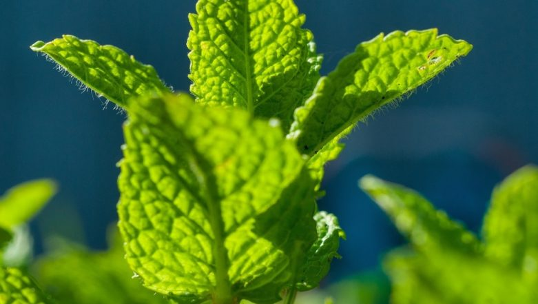 How to Use Mint (Pudina) to Lose Weight (Watch Video)