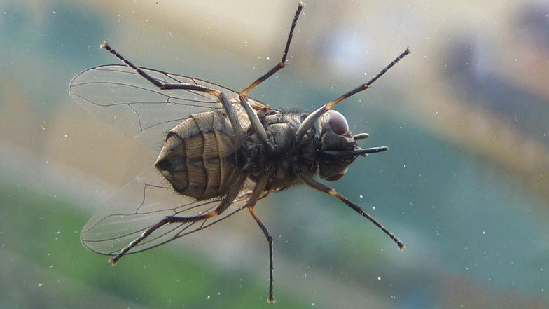 How to Get Rid of Flies at Home During Rains: 9 Natural Home Remedies or Fly Repellents for the Monsoon