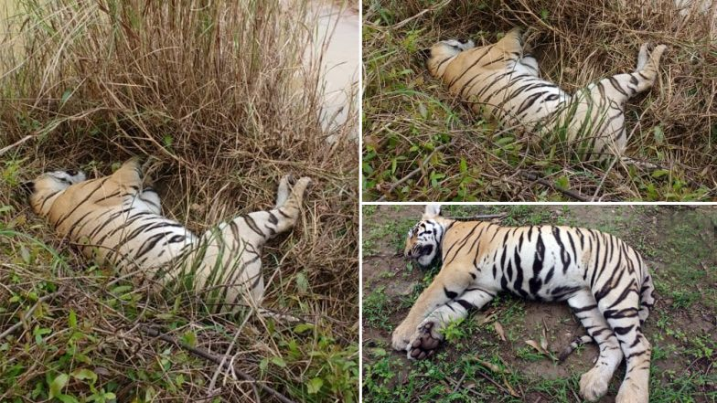 Maharashtra: Tigress, Two Cubs Found Dead in Chandrapur District