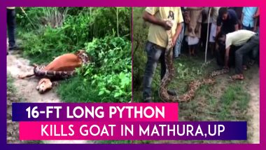 16-Ft Long Python Kills Goat In UP's Mathura, Later Rescued By Forest Officials