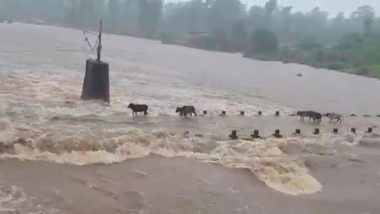 Maharashtra Rains: 4 Cattle Washed Away in Palghar as Water Level in Surya River Rises, Watch Video