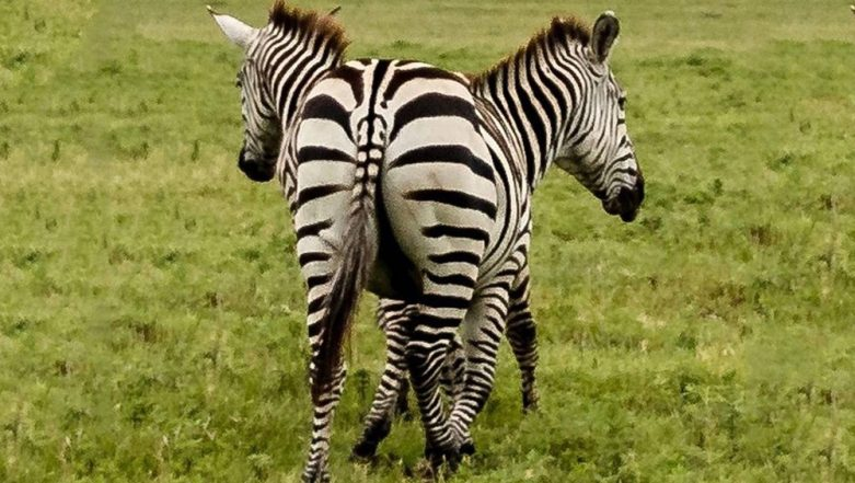 Viral 'Two-Headed Zebra' Pic From Tanzania Has Left People Confused! (View Pics)