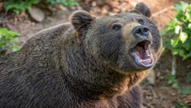 Shocking! Bear Eats a Russian Man 'Alive' Hours After He Joked About The Same to His Wife