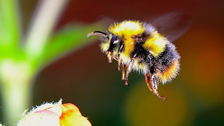 Bee Sting Causes Man's Heart to Fail! Maharashtra Farmer Suffers End-Stage Heart Disease After Getting Stung