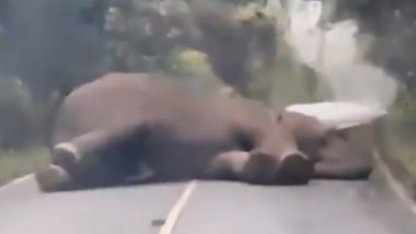 Lazy Elephant Blocks Traffic by Sleeping in the Middle of Road in Thailand, Watch Video of Jumbo Taking Nap!