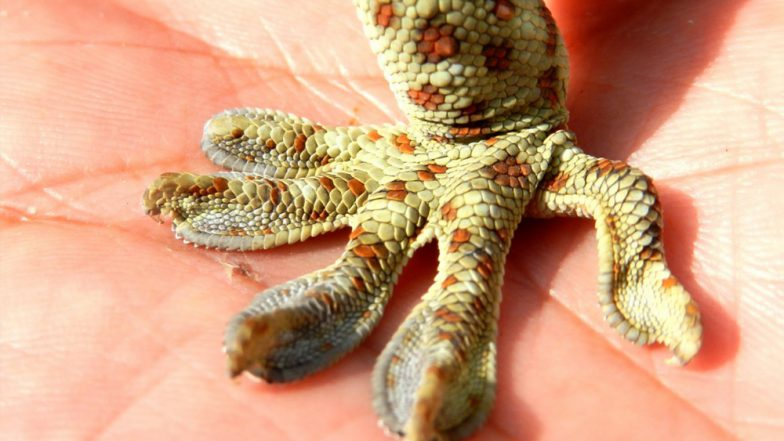 Endangered Tokay Gecko, Believed to Cure HIV and Enhance Sex Life, Rescued by Wildlife Activist! Poachers Offered Rs 20 Lakh For the Reptile