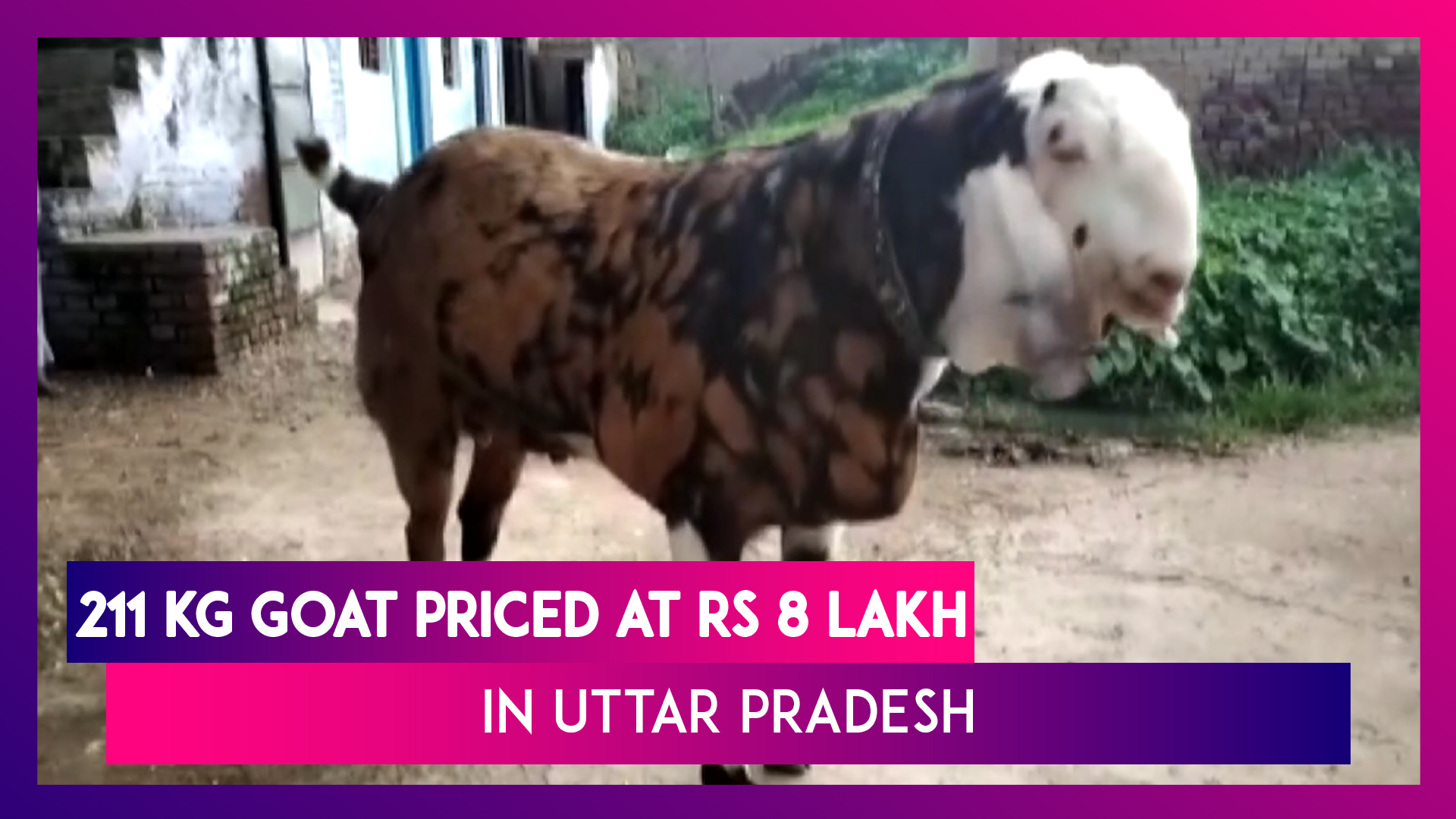 Eid-Ul-Adha: 211 Kg Goat Priced At Whopping Rs 8 Lakh In Hamirpur, Uttar  Pradesh | Watch Videos From LatestLY