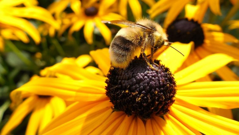 National Honey Bee Day 2019: Why Bees Are Important For the Survival of the Human Race