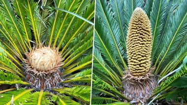 Global Warming: Tropical Plant, Cycads Produced Male and Female Cones in UK for the First Time in 60 Million Years