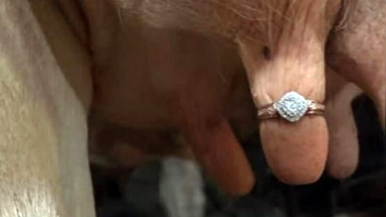 Man Proposes to Girlfriend With a Ring on Cow's Udder; Netizens Disgusted (See Picture)