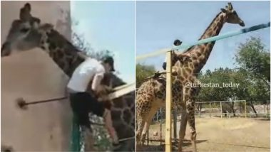 Drunk Man Climbs Over Fence to Ride on Giraffe's Neck in Kazakhstan Zoo, Bizarre Video Goes Viral