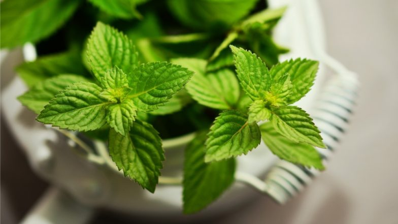 Dengue Fever Prevention: 7 Mosquito-Repellent Plants That Will Keep The Insects at Bay