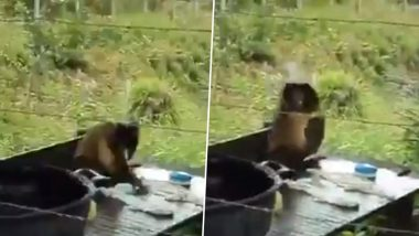 Funny Video of Monkey Washing Clothes in 'Desi' Style Goes Viral, Netizens Impressed