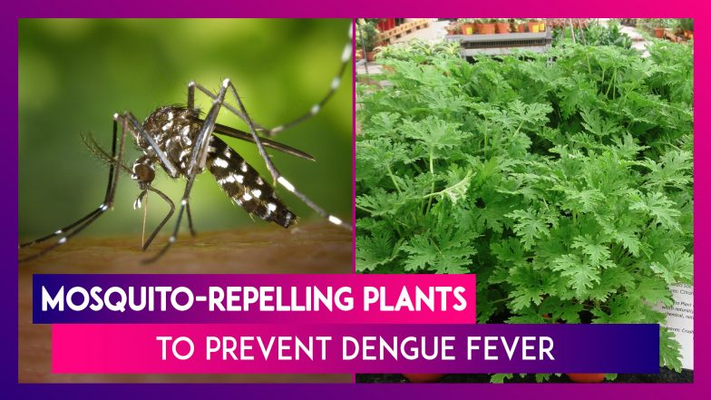 Mosquito-Repelling Plants to Prevent Dengue Fever | Watch Videos From  LatestLY