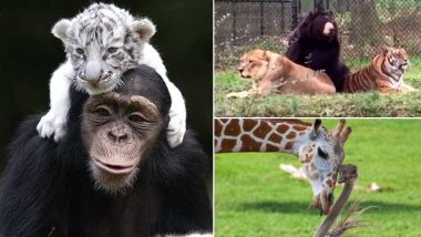Friendship Day 2019: These Unusual Animal Friendships Will Put You and Your Best Friend to Shame! (Watch Cute Videos)