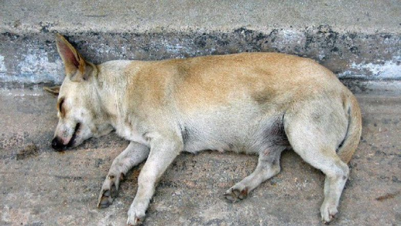 Mumbai Beastiality Case: Man Rapes Female Stray Dog in Kharghar; Arrested After Intervention of PETA