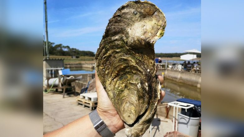 Giant Oyster Georgette Weighing 1.4kg Found in France, Returned to the Ocean Despite Being 'Edible'