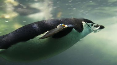 Ancient Giant Fossil of Penguin Found in New Zealand