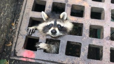 Raccoon Trapped in Drain Grate Rescued After 2-Hour Rescue by 10 Firefighters in Massachusetts (See Pictures)