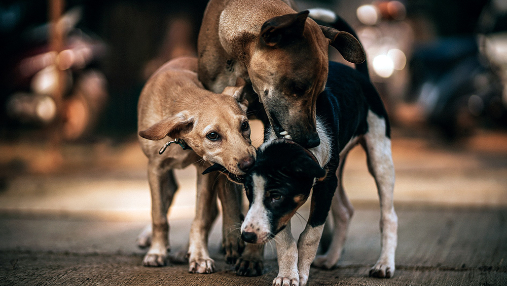 Shimla Municipal Corporation Offers 50% Discounts on Garbage Bill to Households on Adopting Stray Dogs