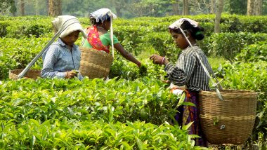Assam Tea Fetch Record Prices at 1st mjunction Special Auction
