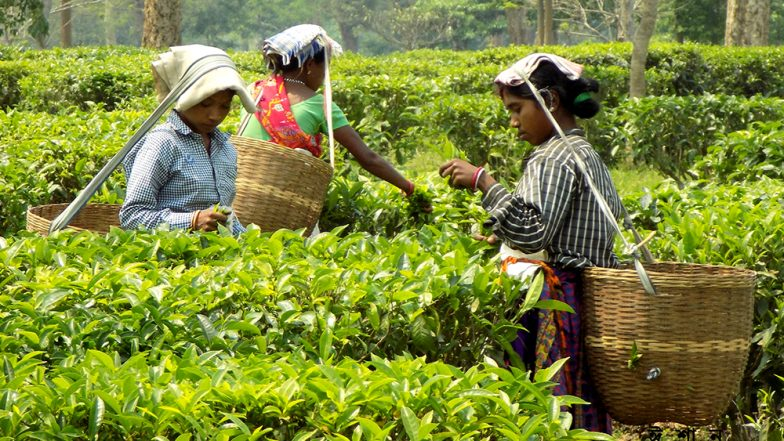 'Golden Butterfly' Tea From Dikom Estate in Assam Creates Record, One Kg Tea Sold For Rs 75,000 at Guwahati Auction Centre