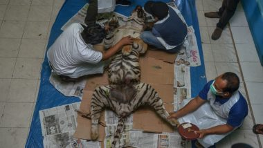 More Than 2,300 Tigers Killed and Illegally Trafficked This Century: Report