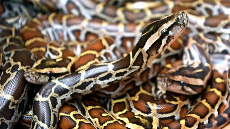 Indian Rock Python, Seven-Feet-Long, Rescued After the Reptile Gets Stuck in Truck Chassis