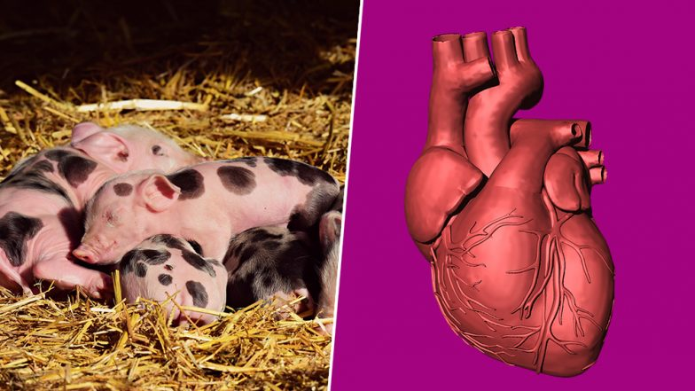 Pig Hearts Could be Used for Humans? Xenotransplantation is Possible Within 3 Years Says UK Surgeon Who Conducted First Heart Transplant