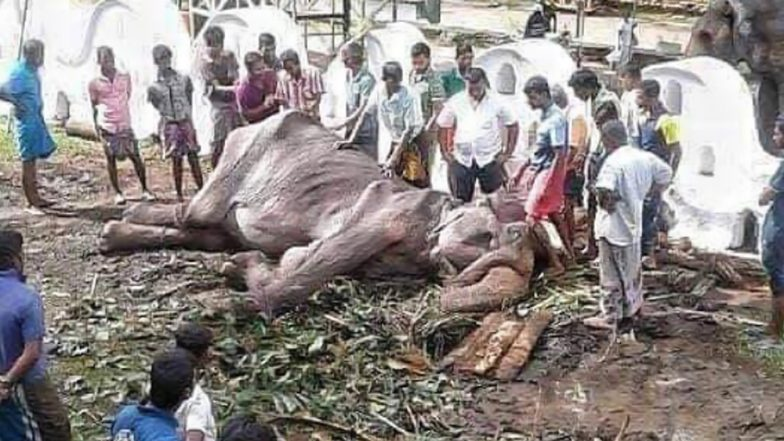Starving Elephant Tikiiri Collapses After Marching for Tourists in Sri Lankan Esala Perahera Buddhist Festival, Heart-Breaking Pics Go Viral