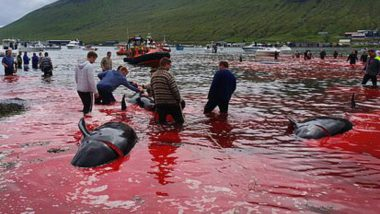 Faroe Island Whale Killing: Sea Turns Red With Blood as Annual Whaling Kills 23 Pilot Whales, See Horrific Pictures