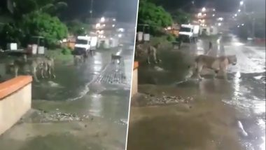 Lions Seen Roaming in Gujarat's Girnar City Amid Heavy Rainfall in the State, Watch Video