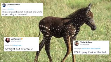 Rare Zebra Foal with Polka Dots Receives Funny Reactions, Memes and Jokes on The Internet!