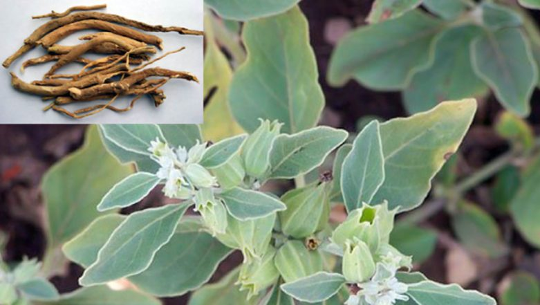 Ashwagandha For Weight Loss: Here's How Indian Ginseng Can Help You Burn Fat Easily (Watch Video)